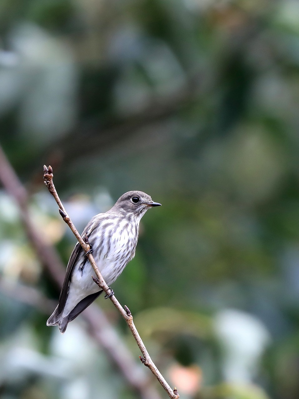 ミズキの木に集まる野鳥_f0296999_17053463.jpg