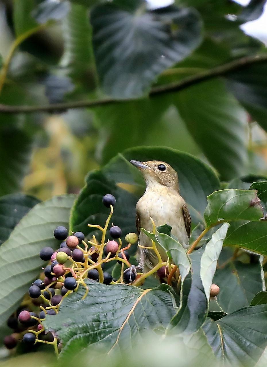 ミズキの木に集まる野鳥_f0296999_17062420.jpg