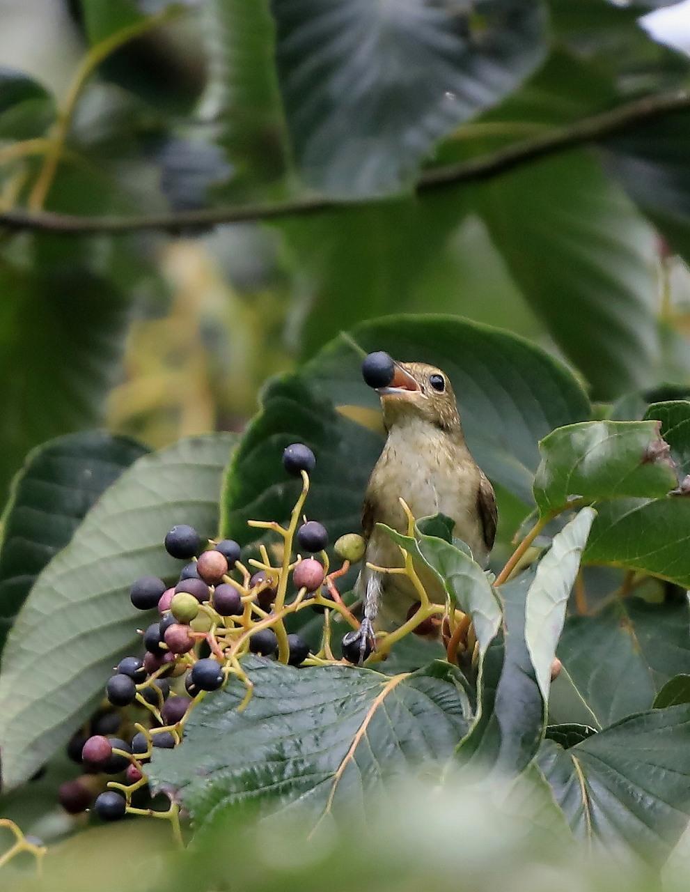 ミズキの木に集まる野鳥_f0296999_17062963.jpg