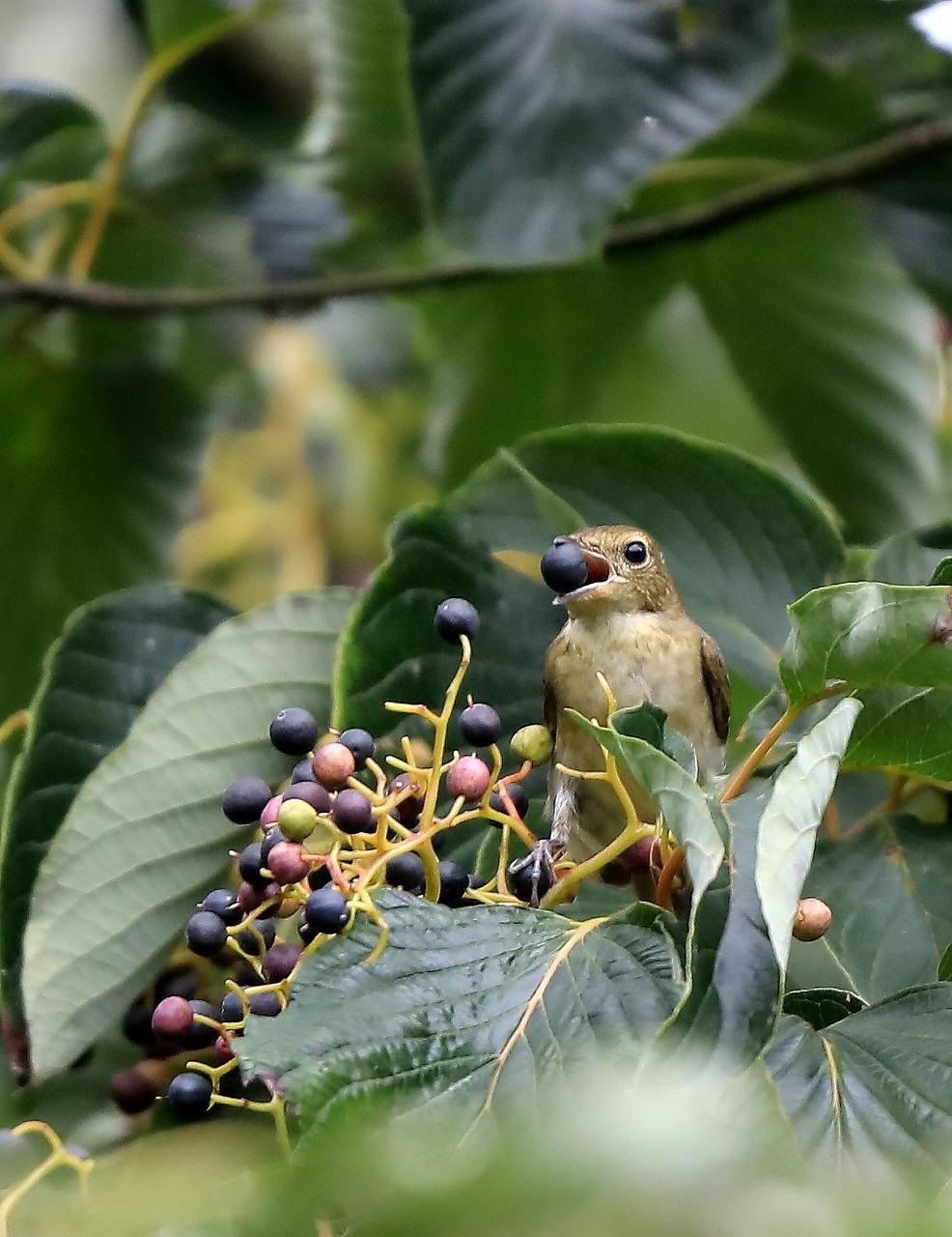 ミズキの木に集まる野鳥_f0296999_17063590.jpg