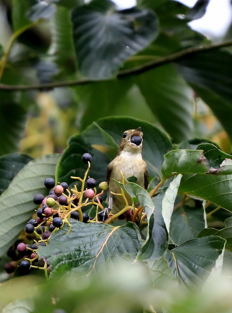 ミズキの木に集まる野鳥_f0296999_17064268.jpg