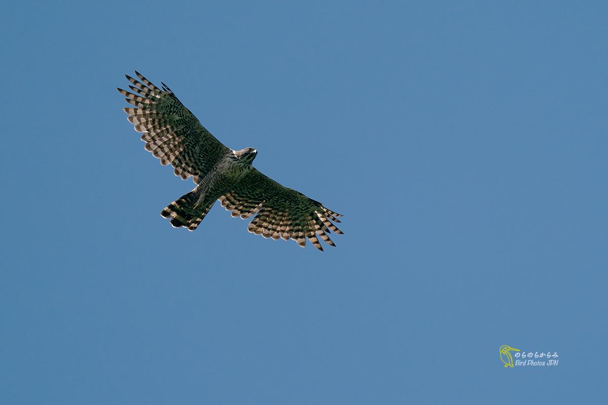 猛禽を待つ時間:クマタカ幼鳥と親鳥_d0360547_12324538.jpg