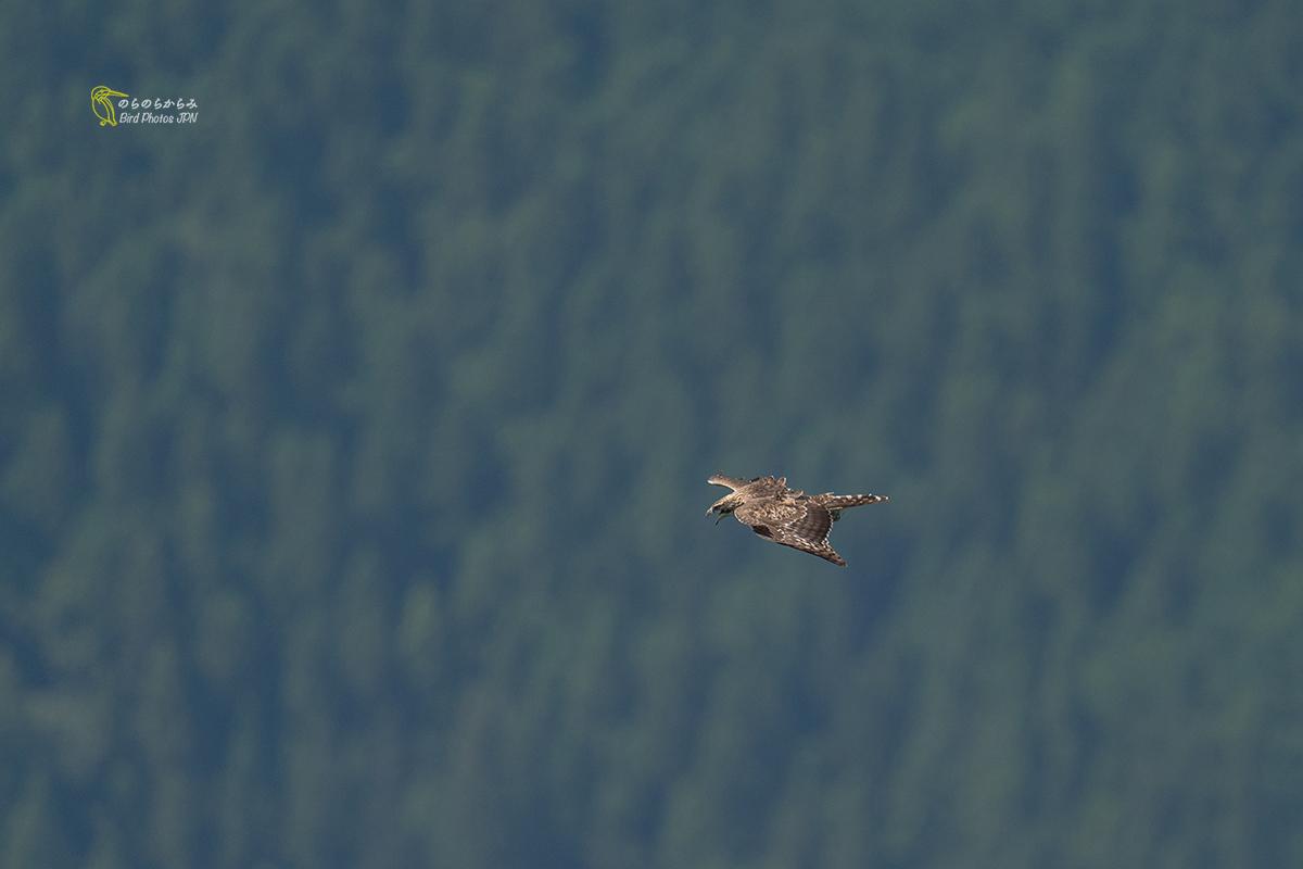 猛禽を待つ時間:クマタカ幼鳥と親鳥_d0360547_12324649.jpg