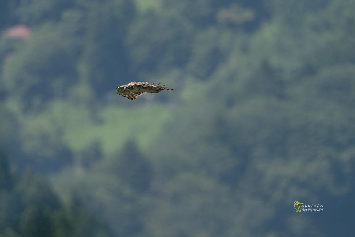 猛禽を待つ時間:クマタカ幼鳥と親鳥_d0360547_12324688.jpg