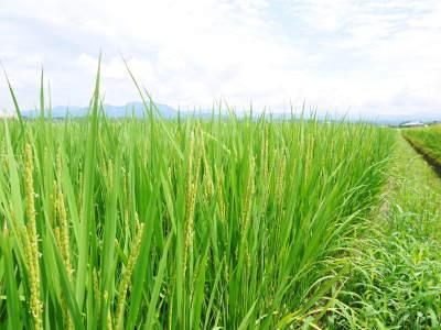 砂田米 七城町『砂田のれんげ米』の稲刈り2019 頑固おやじから引き継いだ息子さんたちが育て上げたお米_a0254656_18080649.jpg