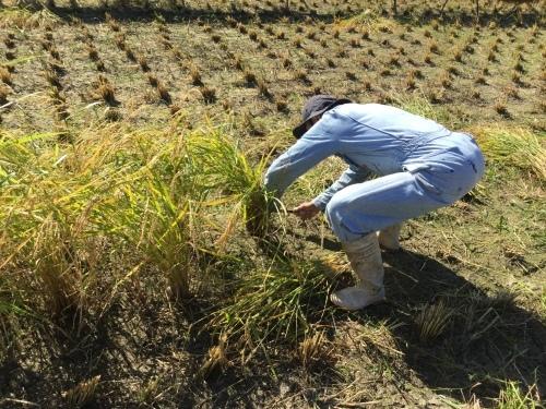 穂増 稲刈りからの脱穀_e0181260_06130614.jpeg