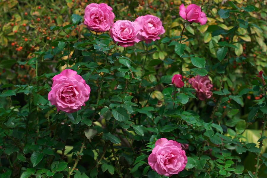 館林 東武トレジャーガーデンの秋薔薇1_a0263109_11405504.jpg