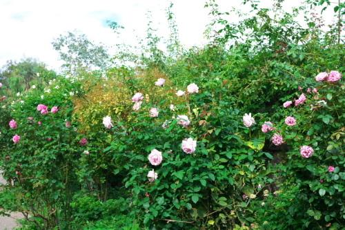 館林 東武トレジャーガーデンの秋薔薇1_a0263109_11405552.jpg