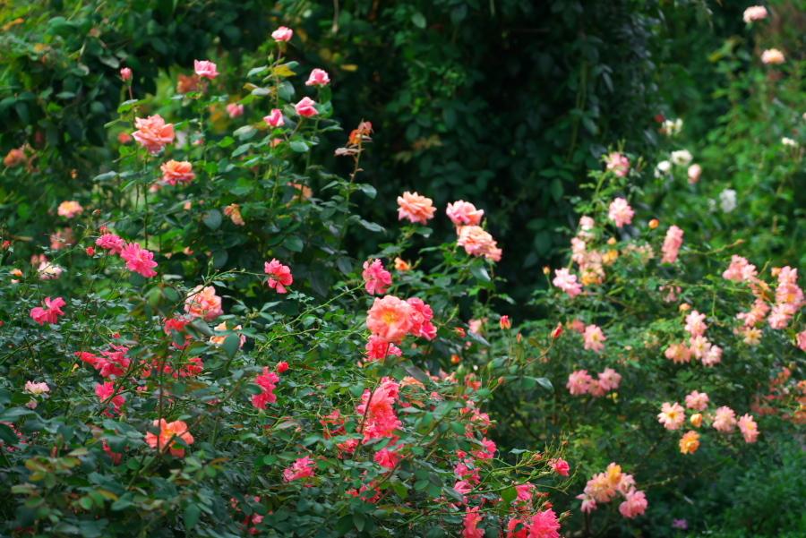 館林 東武トレジャーガーデンの秋薔薇1_a0263109_11405604.jpg