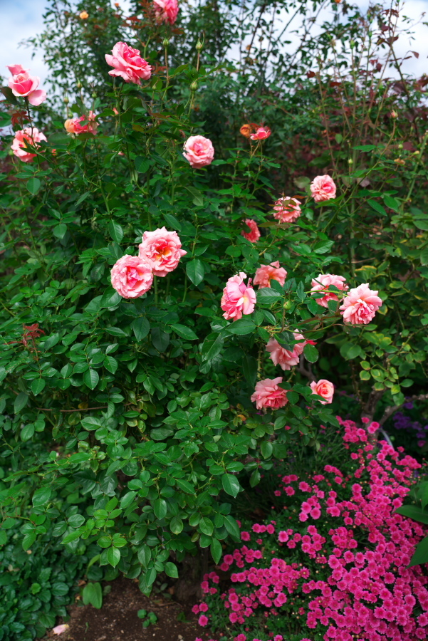 館林 東武トレジャーガーデンの秋薔薇1_a0263109_11412986.jpg