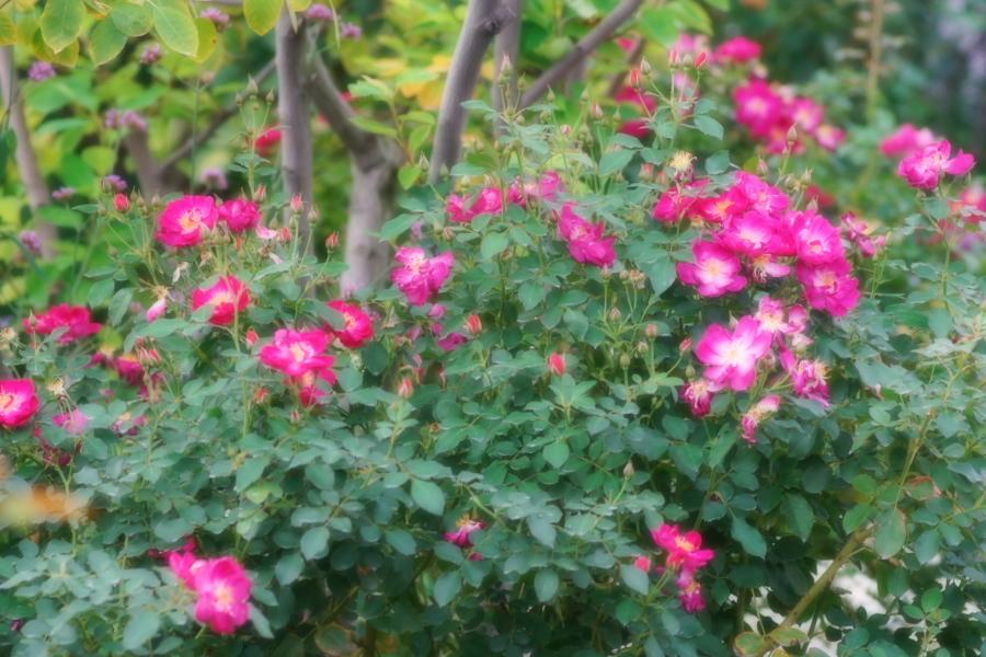 館林 東武トレジャーガーデンの秋薔薇1_a0263109_11420272.jpg