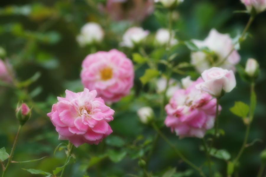 館林 東武トレジャーガーデンの秋薔薇1_a0263109_11420344.jpg