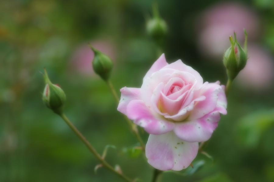 館林 東武トレジャーガーデンの秋薔薇1_a0263109_11420353.jpg