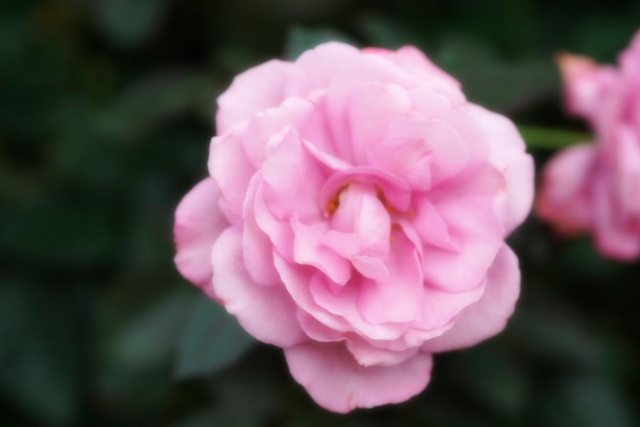 館林 東武トレジャーガーデンの秋薔薇1_a0263109_11420370.jpg