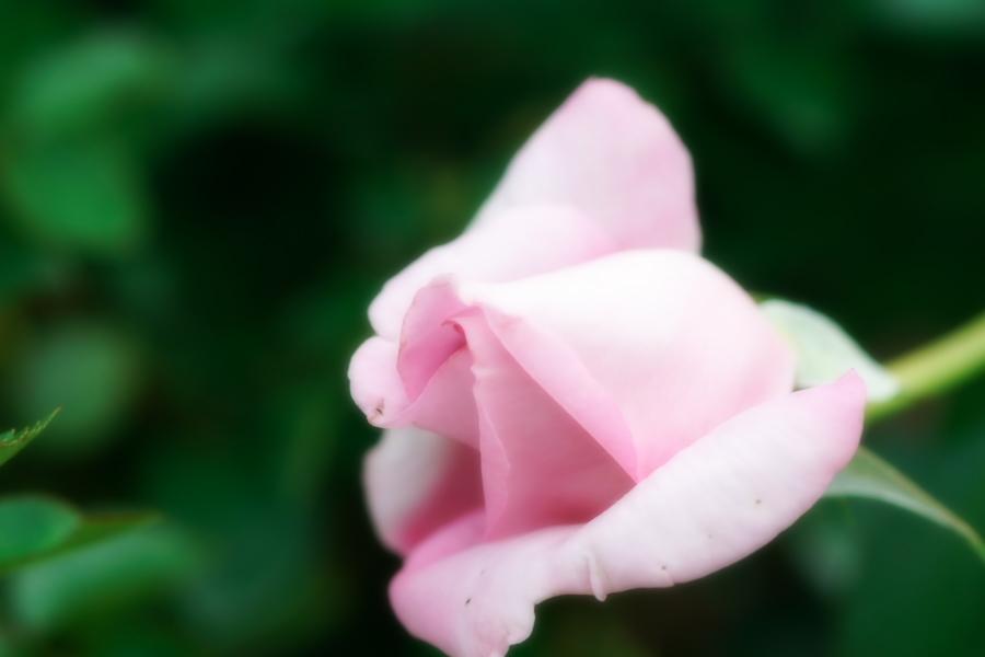 館林 東武トレジャーガーデンの秋薔薇1_a0263109_11420378.jpg