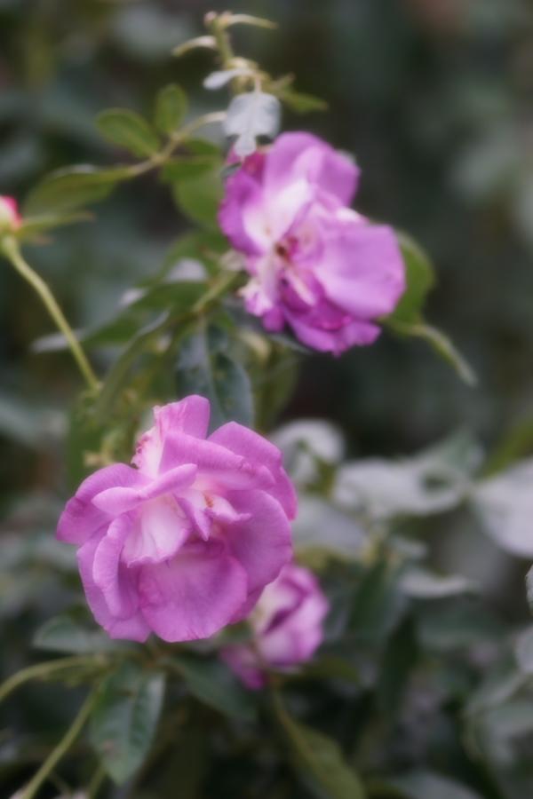 館林 東武トレジャーガーデンの秋薔薇1_a0263109_11420382.jpg