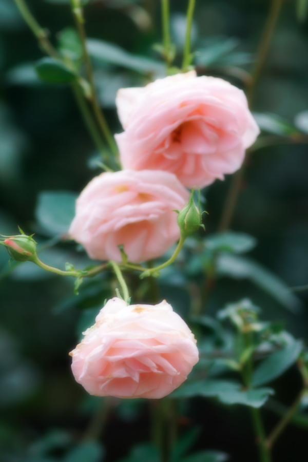 館林 東武トレジャーガーデンの秋薔薇1_a0263109_11422603.jpg