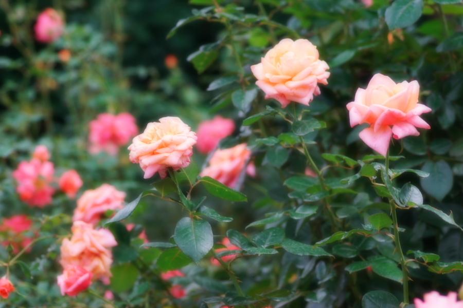 館林 東武トレジャーガーデンの秋薔薇1_a0263109_11422631.jpg