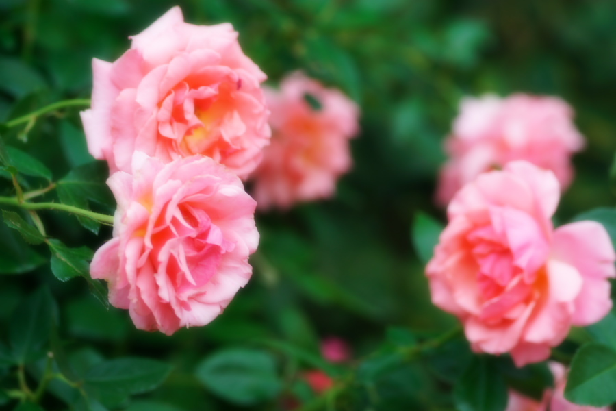 館林 東武トレジャーガーデンの秋薔薇1_a0263109_11422632.jpg