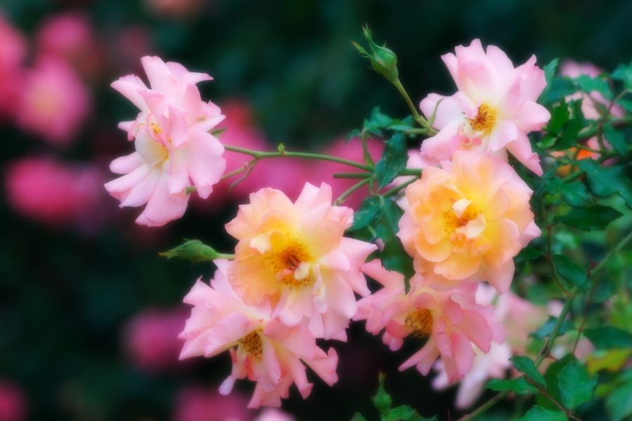 館林 東武トレジャーガーデンの秋薔薇1_a0263109_11422668.jpg