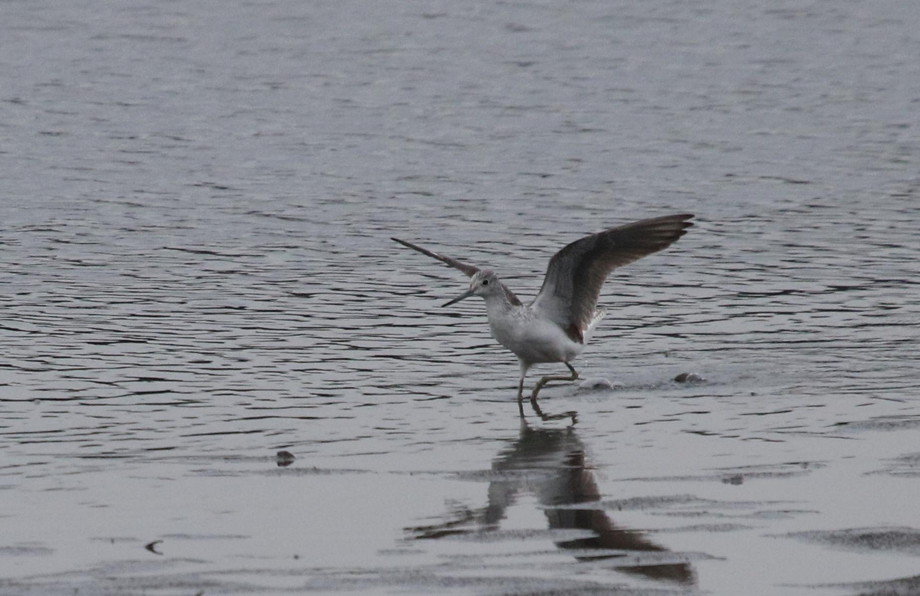 MFの沼で(アオアシシギ・イソシギ・タカブシギ・ツルシギ)_f0239515_1746361.jpg