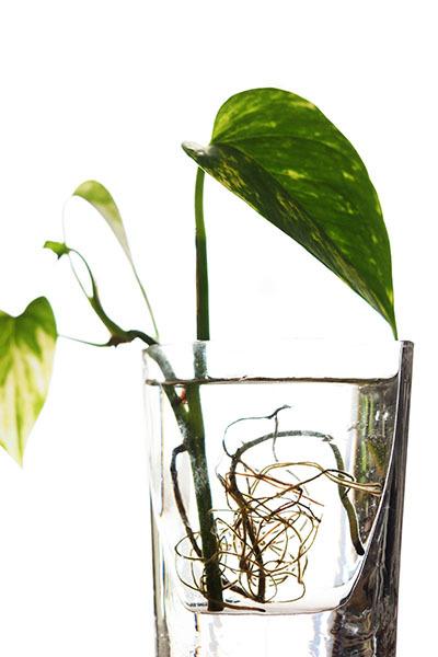 水栽培も順調に育っていいます_e0022047_23150078.jpg