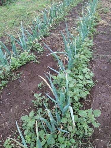 今朝は葱の畝雑草抜き_c0222448_13170258.jpg