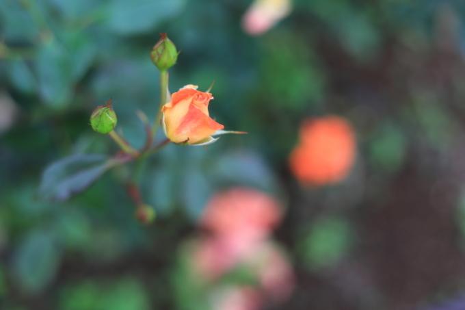 【生田緑地バラ苑】【岡本太郎美術館】_f0348831_23291201.jpg