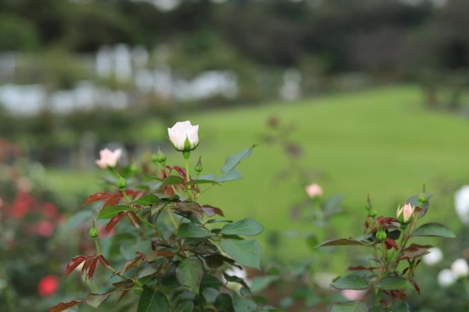 【生田緑地バラ苑】【岡本太郎美術館】_f0348831_23291386.jpg