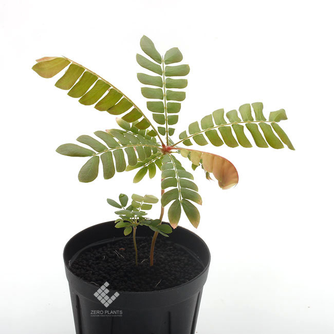 New arrival plants |  新掲載植物 ネペンテス、ビオフィツムその他などなど、、とフォレスタ入荷状況。_d0376039_17141615.jpg