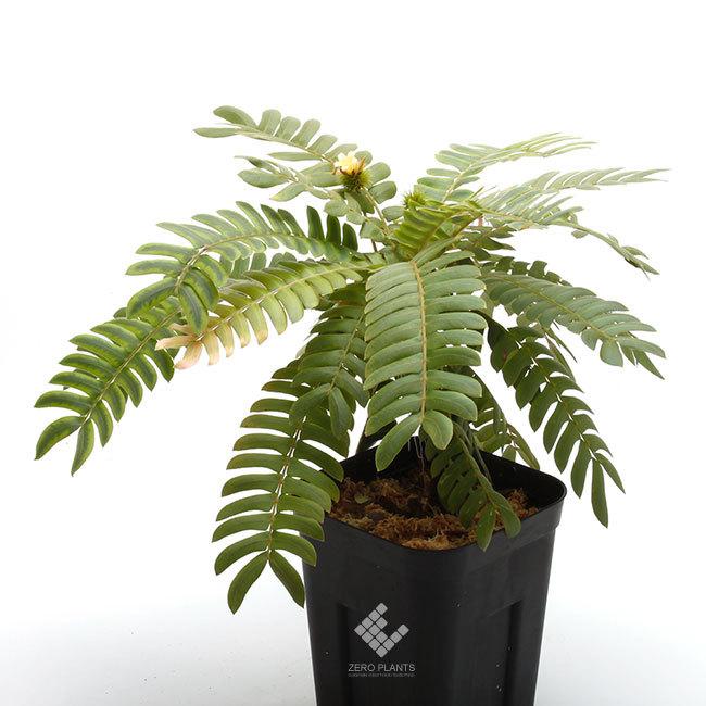 New arrival plants |  新掲載植物 ネペンテス、ビオフィツムその他などなど、、とフォレスタ入荷状況。_d0376039_17173133.jpg