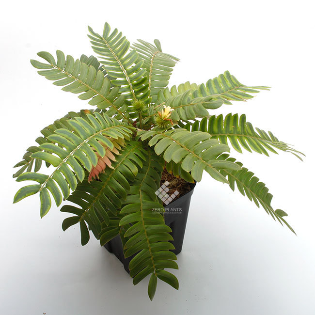 New arrival plants |  新掲載植物 ネペンテス、ビオフィツムその他などなど、、とフォレスタ入荷状況。_d0376039_17174501.jpg