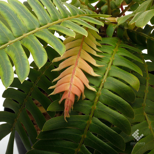 New arrival plants |  新掲載植物 ネペンテス、ビオフィツムその他などなど、、とフォレスタ入荷状況。_d0376039_17180077.jpg