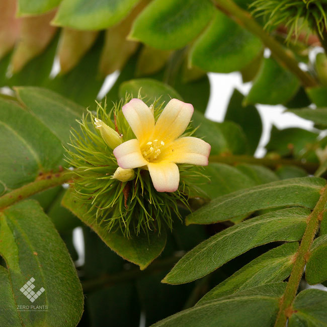 New arrival plants |  新掲載植物 ネペンテス、ビオフィツムその他などなど、、とフォレスタ入荷状況。_d0376039_17182982.jpg