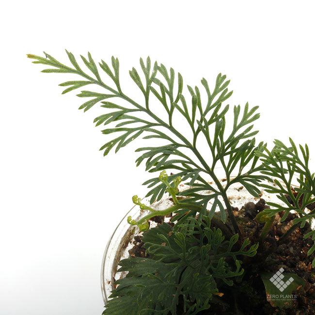 New arrival plants |  新掲載植物 ネペンテス、ビオフィツムその他などなど、、とフォレスタ入荷状況。_d0376039_17285564.jpg
