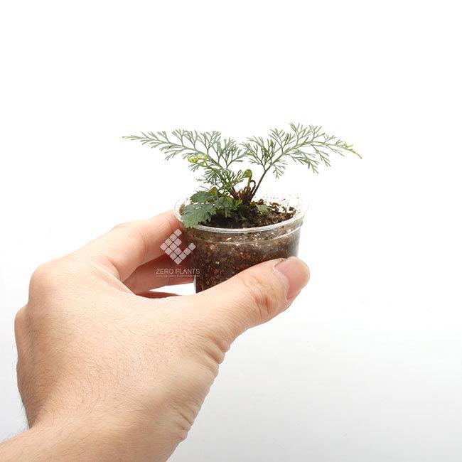 New arrival plants |  新掲載植物 ネペンテス、ビオフィツムその他などなど、、とフォレスタ入荷状況。_d0376039_17290669.jpg