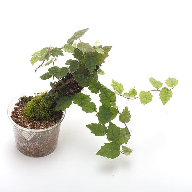 New arrival plants |  新掲載植物 ネペンテス、ビオフィツムその他などなど、、とフォレスタ入荷状況。_d0376039_23284246.jpg