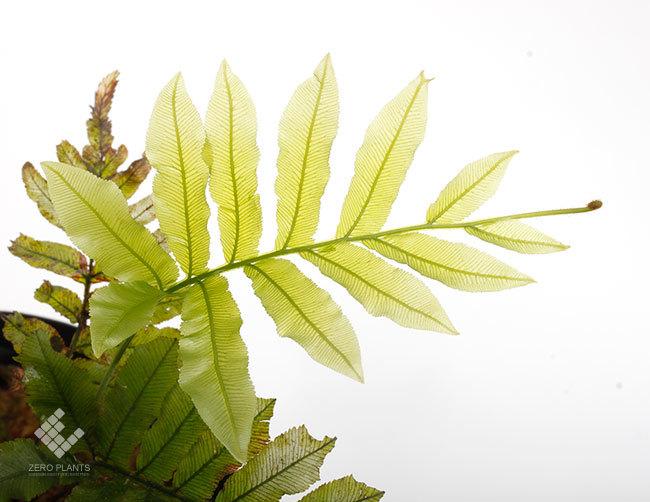 New arrival plants |  新掲載植物 ネペンテス、ビオフィツムその他などなど、、とフォレスタ入荷状況。_d0376039_23374399.jpg