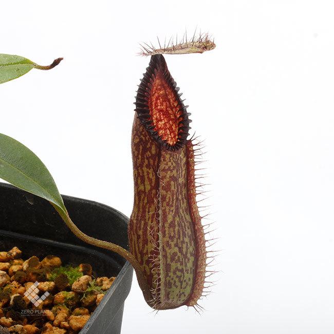 New arrival plants |  新掲載植物 ネペンテス、ビオフィツムその他などなど、、とフォレスタ入荷状況。_d0376039_23570401.jpg