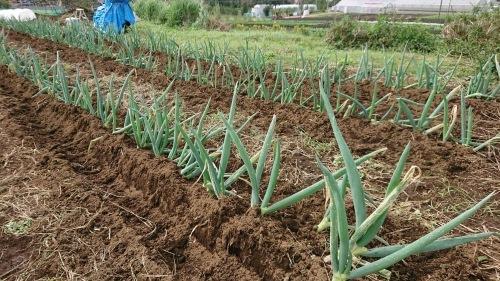今朝は葱の土寄せ 虫退治・・・_c0222448_11565444.jpg