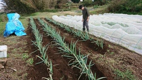 今朝は葱の土寄せ 虫退治・・・_c0222448_11571508.jpg