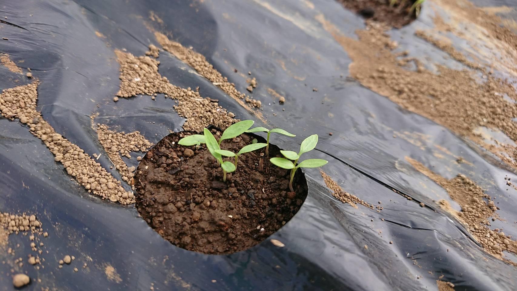 今朝は葱の土寄せ 虫退治・・・_c0222448_11574929.jpg