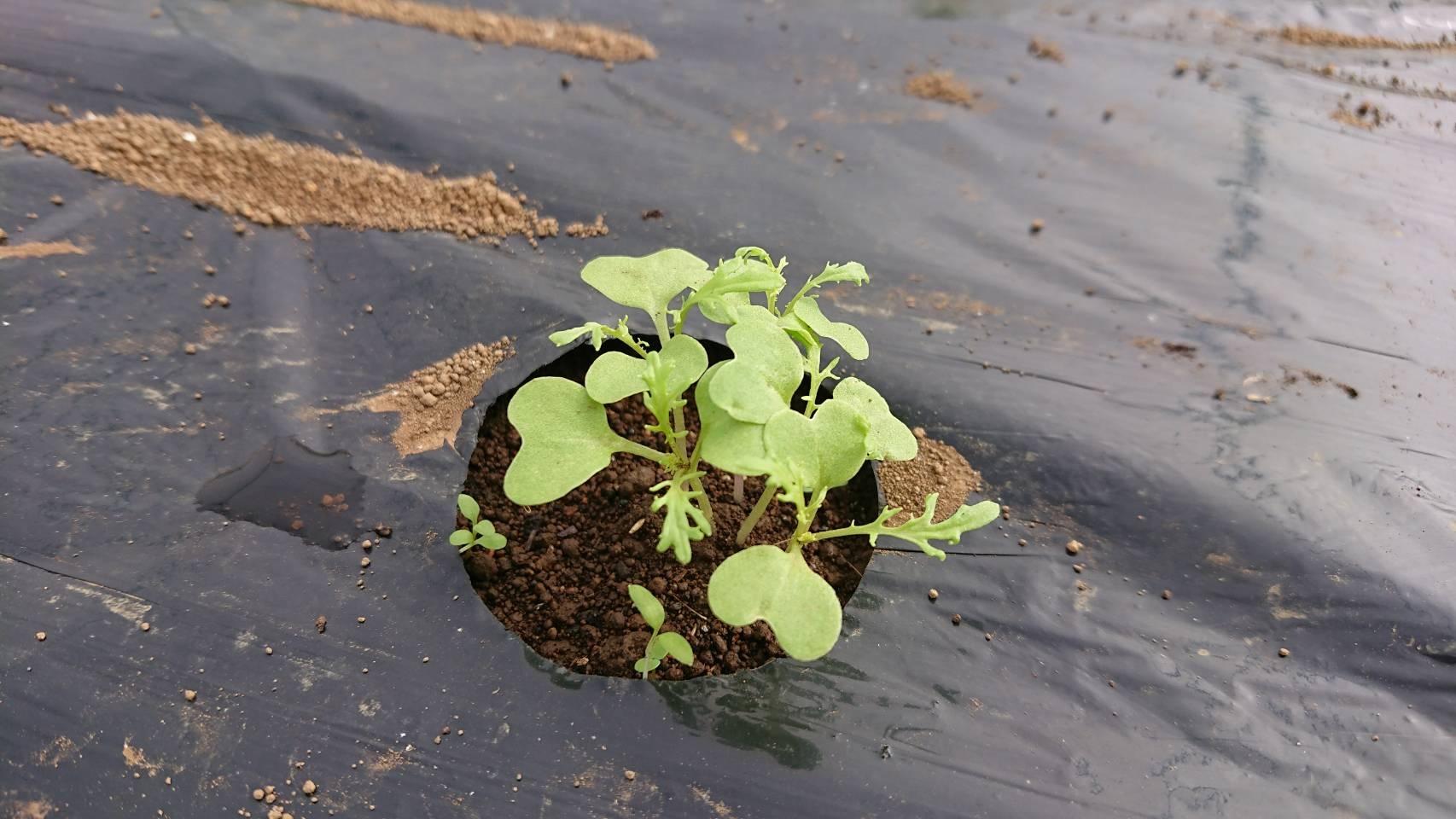 今朝は葱の土寄せ 虫退治・・・_c0222448_11582233.jpg