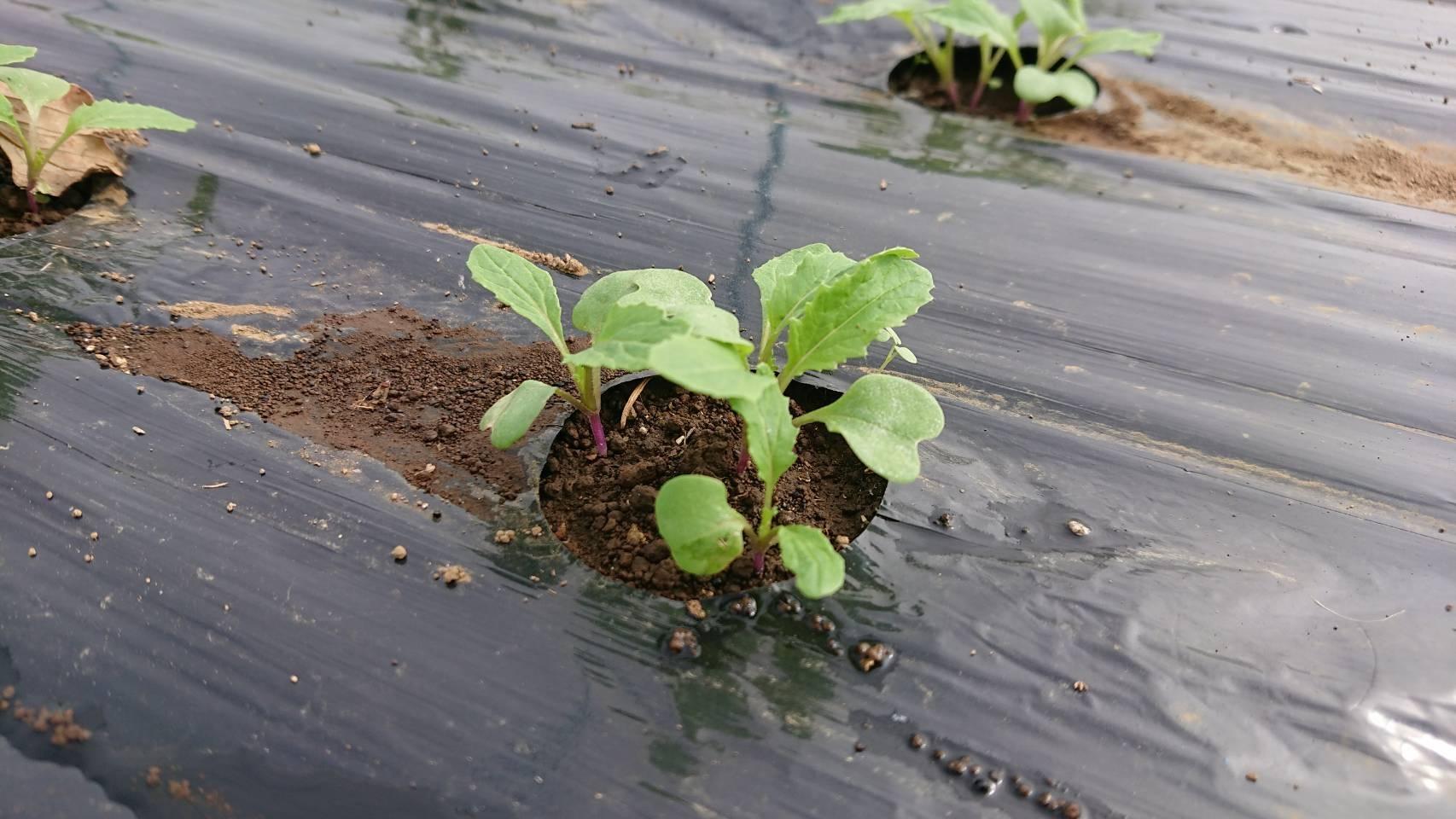 今朝は葱の土寄せ 虫退治・・・_c0222448_11583372.jpg