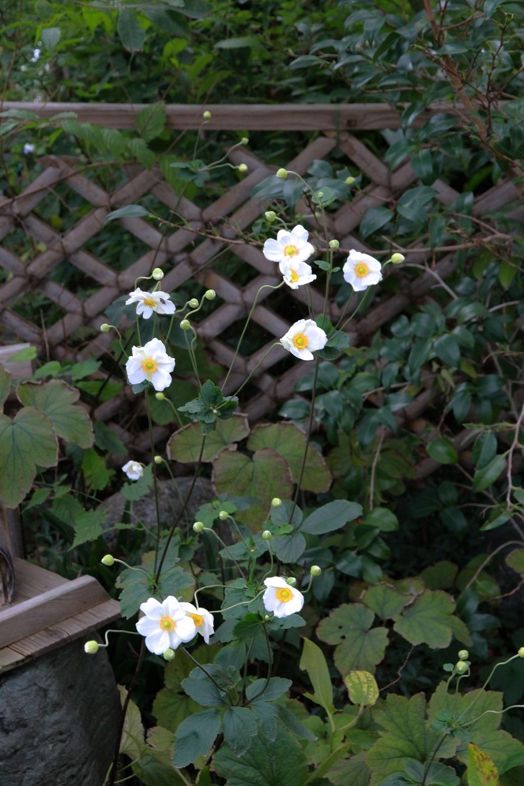シュウメイギクが咲くころ_a0107574_16475994.jpg