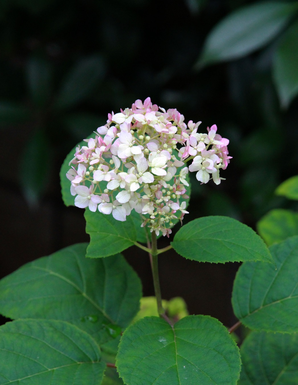 シュウメイギクが咲くころ_a0107574_16481021.jpg