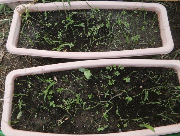 玉葱3種の近況と植え付け(正月用&超極早生&保存用)_f0018078_17481272.jpg