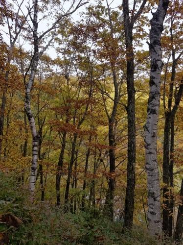 サワフタギの実と秋のゴジュウカラ_a0204089_20252316.jpg