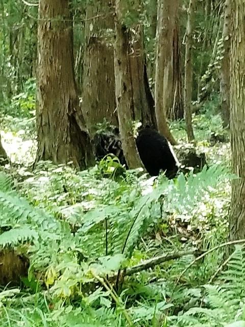 藤田八束の下北半島「奥薬研」からの報告@渡辺水産からの楽しい素敵な頼り、森の熊さんたちに逢いました・・・熊の親子にご対面_d0181492_08100304.jpg