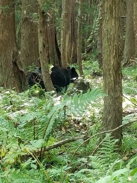 藤田八束の下北半島「奥薬研」からの報告@渡辺水産からの楽しい素敵な頼り、森の熊さんたちに逢いました・・・熊の親子にご対面_d0181492_08101258.jpg